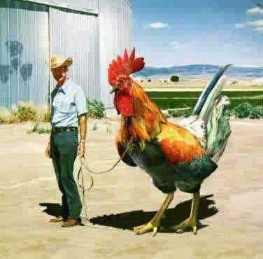 big_rooster.jpg