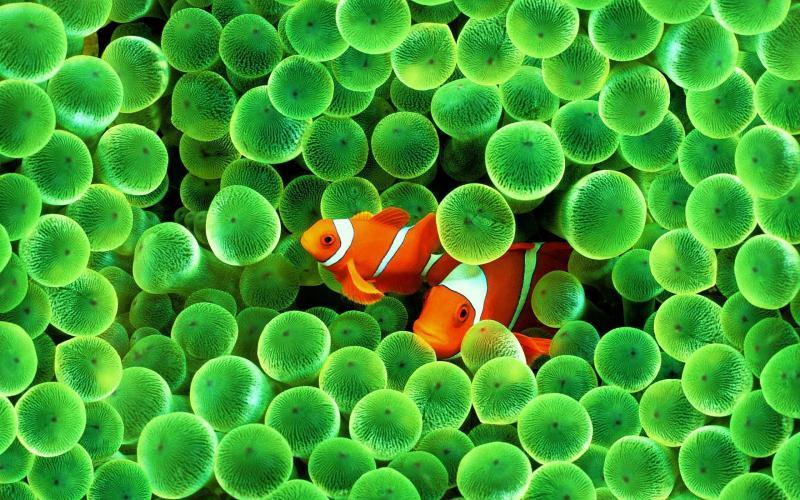 clownfishnv1.jpg