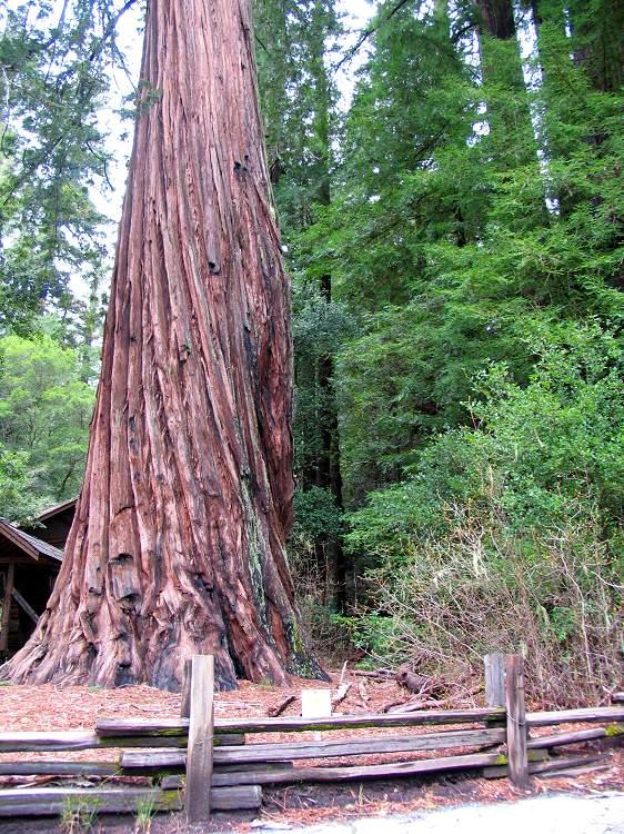 Img_1511-redwood.jpg