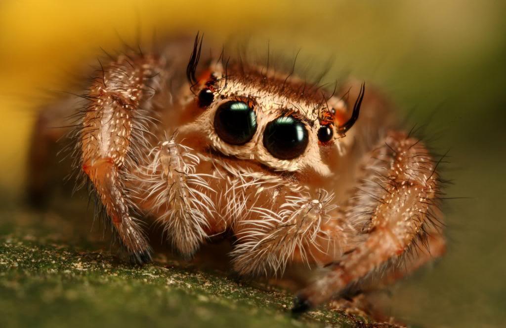 Jumping_spider_series_1_by_macrojunkie_zps25385b4b.jpg