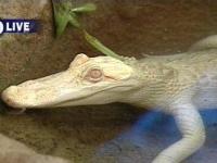 white+alligator.jpg